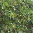 Hortensia serratifolia