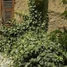 Lierre d'Alger algeriensis Gloire De Marengo