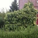 Lierre des colchide colchica Sulphur Heart