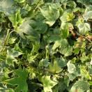 Lierre des bois helix Elegantissima