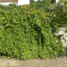 Lierre à patte d'oie helix Sagittifolia