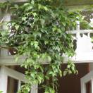 Holboelia coriacea