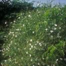 Jasmin blanc officinalis