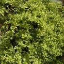 Chèvrefeuille japonica Mint Crisp®