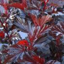 Physocarpe à feuilles d'obier opulifolius All Black® 'Minall2'