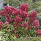 Hortensia paniculata Diamant Rouge® 'Rendia'