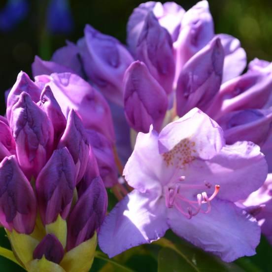 Rhododendron x Azurika