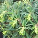 Euphorbe des garrigues characias Black Pearl