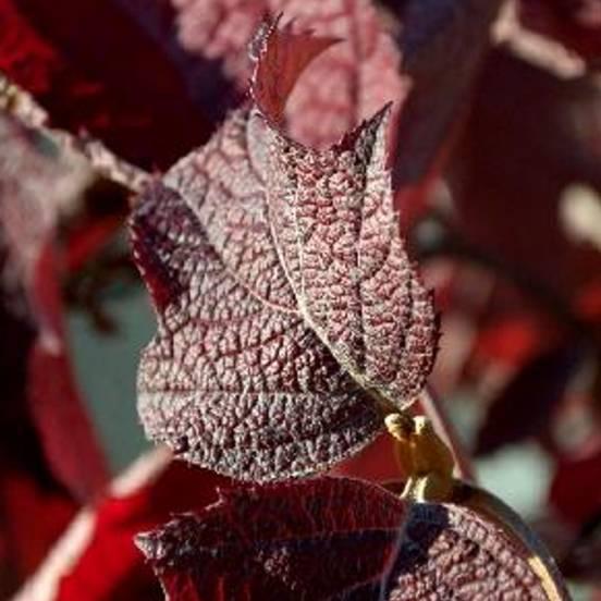 Hortensia à feuilles de chêne quercifolia