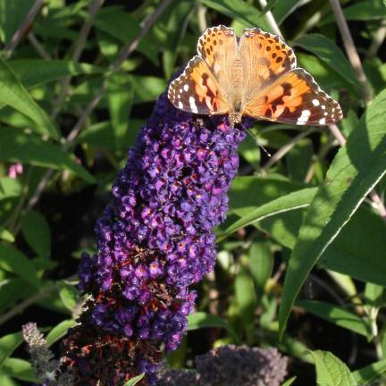 Arbre aux papillons davidii Black Knight