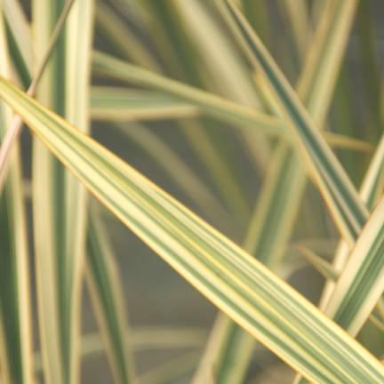 Lin de Nouvelle-Zélande Golden Ray