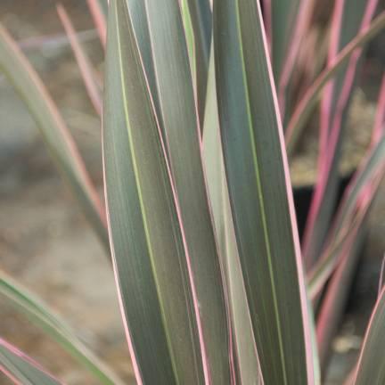 Lin de Nouvelle-Zélande Pink Stripe