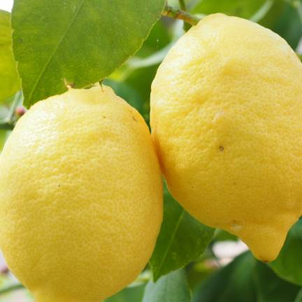 Citronnier limon