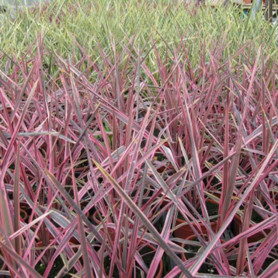 Cordyline australe Pink Passion® 'Seipin'
