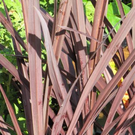 Cordyline australe Red Star