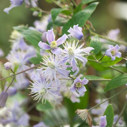 Clématite heracleifolia Jouiniana Mrs Robert Brydon