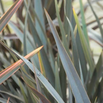 Lin de Nouvelle-Zélande tenax Atropurpureum