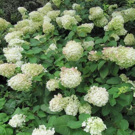 Hortensia paniculata Levana®