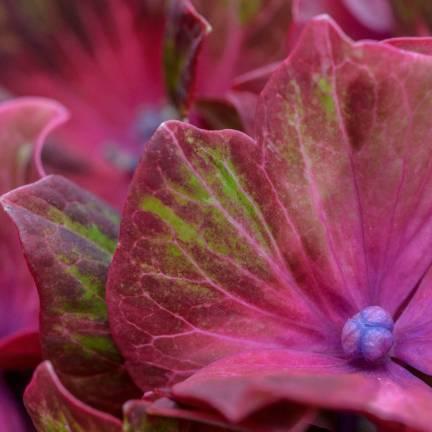 Hortensia macrophylla SAXON® 'Schloss Wackerbarth'