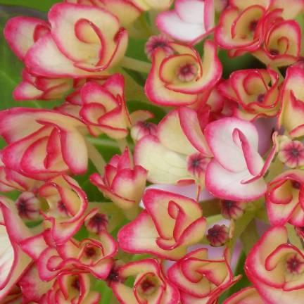 Hortensia macrophylla SALSA® 'Sidsalimp'