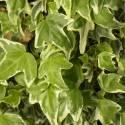 Lierre à patte d'oie helix Sagittifolia Variegata