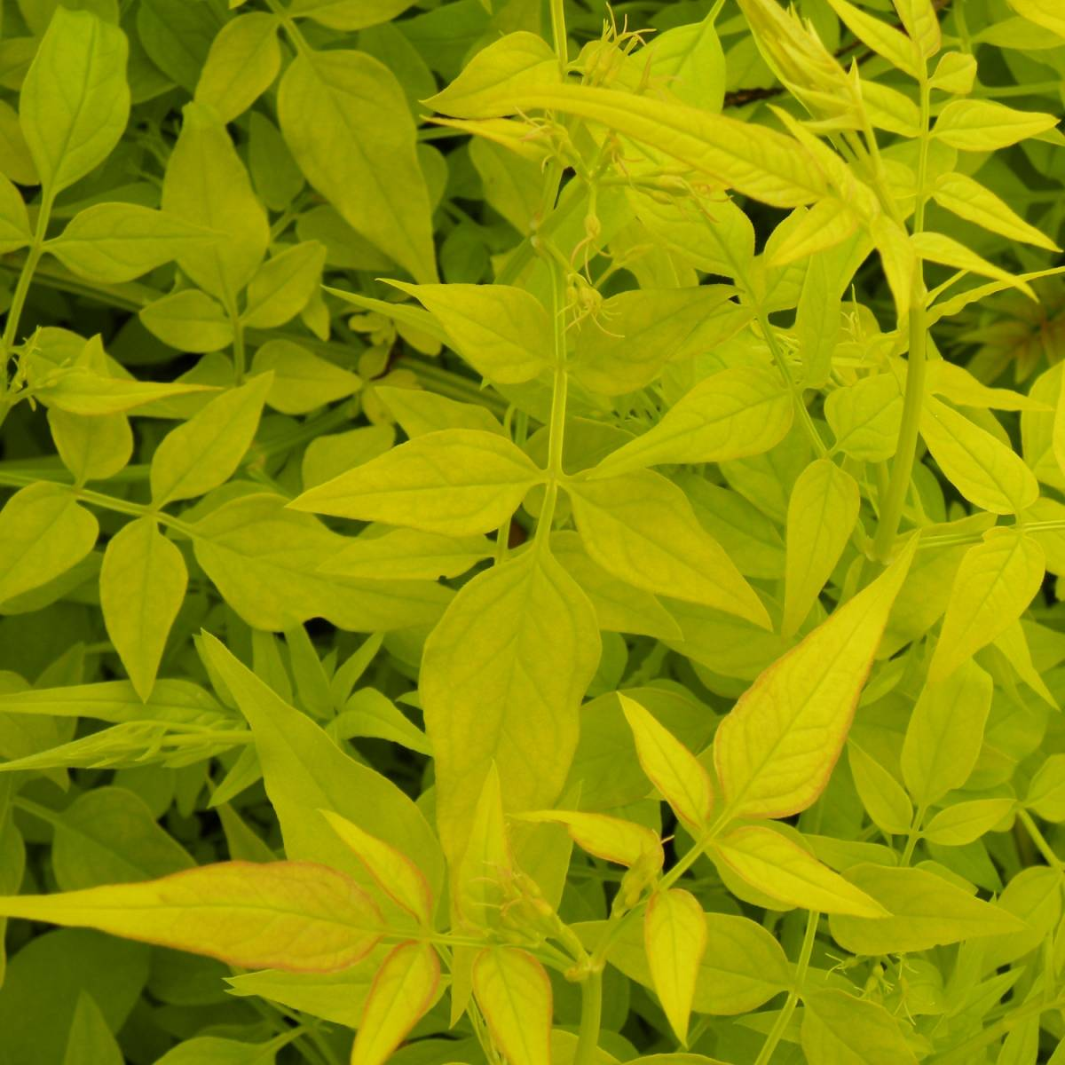 Fleurs fan es jasmin id e d 39 image de fleur - Jasmin blanc d hiver ...