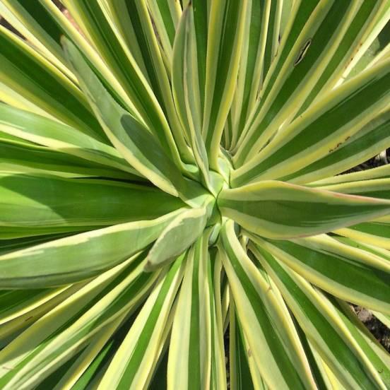 Yucca filamenteux Bright Edge