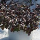 Jasmin étoilé jasminoïdes Winter Ruby® 'Trared'