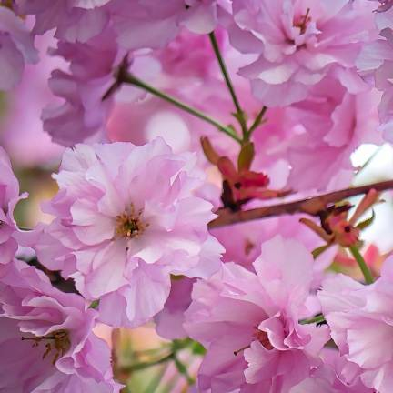 Amandier nain dulcis Garden Prince®