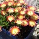 Delosperma x Fire Wonder®