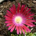 Delosperma x Hot Pink Wonder®
