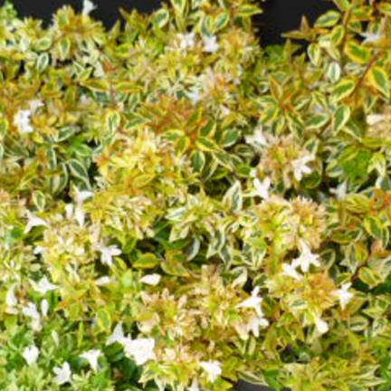 Abélie à grandes fleurs grandiflora Sunshine Daydream®