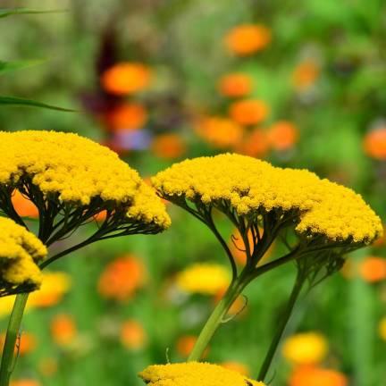 Achillée millefeuille Desert Eve™ Yellow