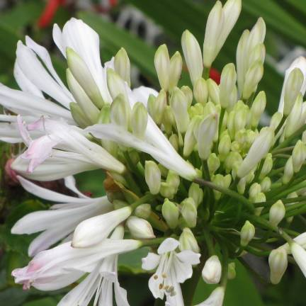 Agapanthe africanus L'amour d'été Blanc®