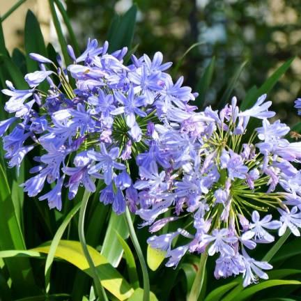 Agapanthe africanus L'amour d'été Bleu®
