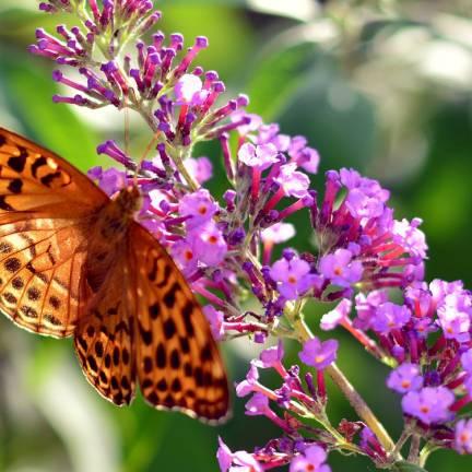 Arbre aux papillons x Pink Micro Chip® 'NC20102'