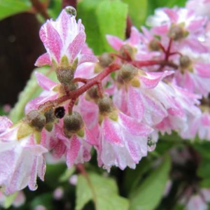 Deutzie x hybrida Yuki Cherry Blossom® 'NCDX2'