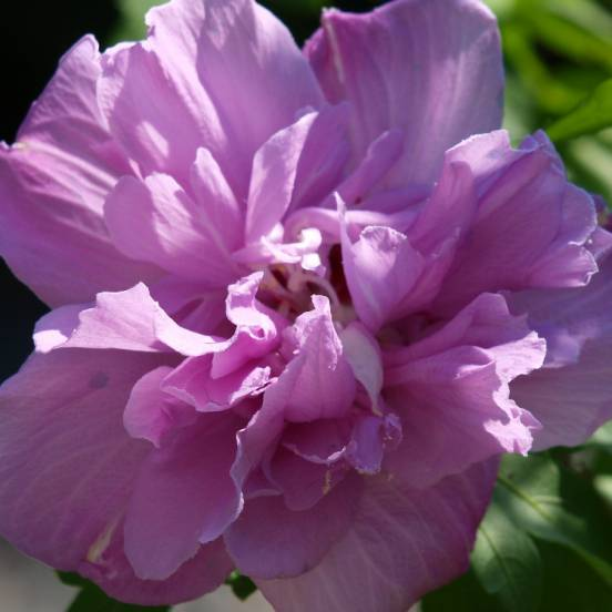 Hibiscus syriacus French cabaret® Purple 'Mindouv5'