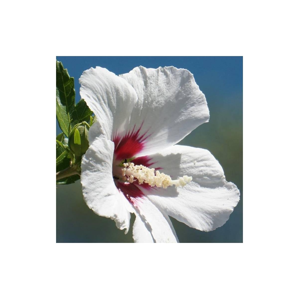 Hibiscus syriacus Red Heart - Achat direct au producteur