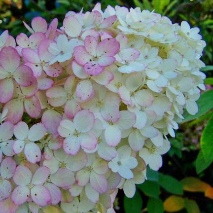 Hortensia paniculata Early Sensation® 'Bulk'