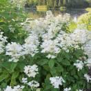 Hortensia paniculata Great Star® 'Le Vasterival'