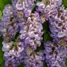 Glycine d'Amérique frutescens Amethyst Fall®