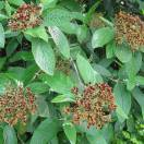 Viorne à feuilles ridées rhytidophyllum