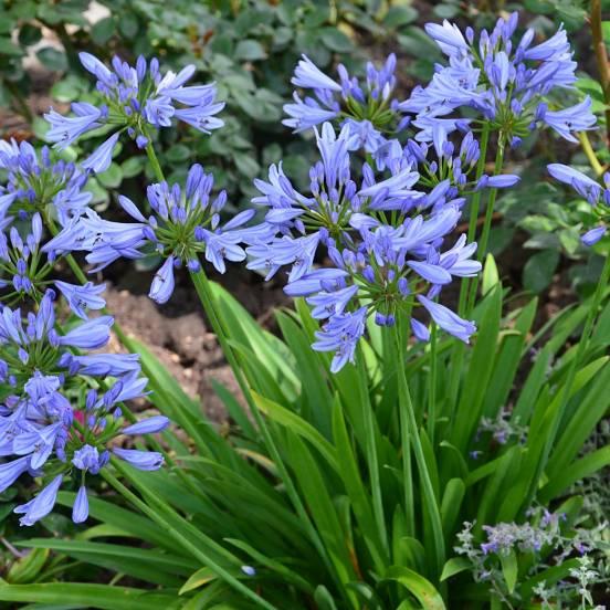 Agapanthe africanus Pitchoune Blue® Scrarey09