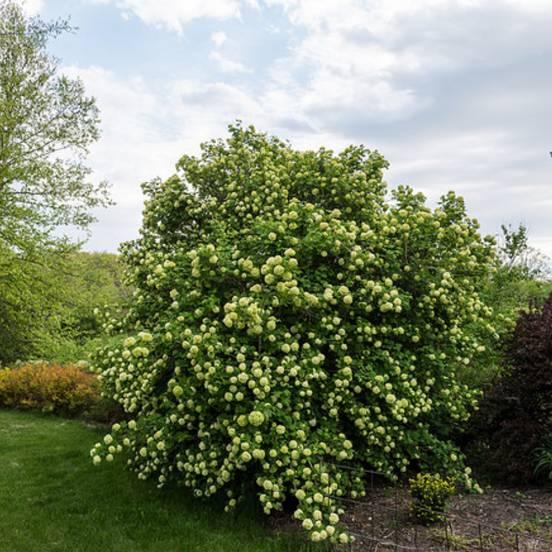 Viorne obier opulus Roseum