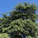 Cèdre du Liban libani