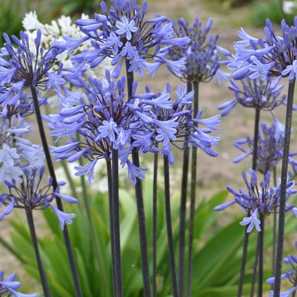 Agapanthe africanus GRAPHITE ® Blue 'TURK8'