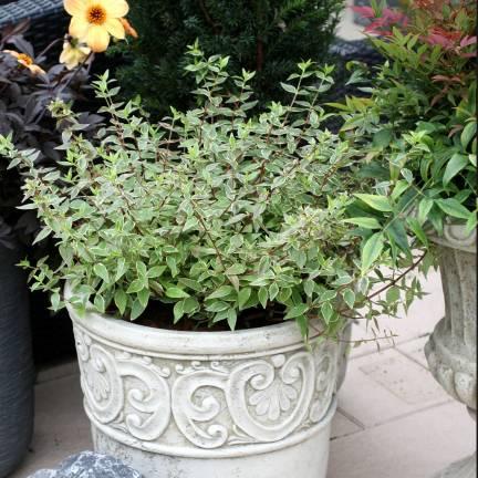Abélie à grandes fleurs grandiflora Lucky Lots® 'Wewo2'