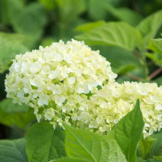 Hortensia de Virginie arborescens Annabelle