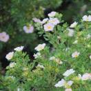 Potentille fruticosa Lovely Pink ® 'Pink Beauty'